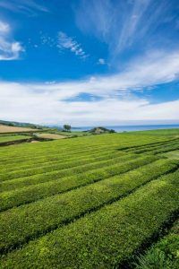 The only tea plantations in Europe are in Azores islands. Gorreana Tea plantation.
