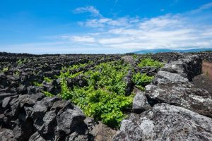 Vineyards in Pico are protected as a UNESCO World Heritage site. The basalt rock walls offer protection from ocean winds and the salt spray.