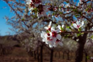 Almond-trees in blossom.
