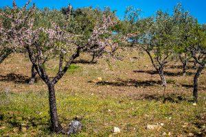 Fields of almond-trees.